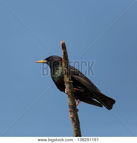 starling (sturnus vulgaris) sitting on branch in blue sky