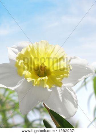 Spring Daffodil Blue Sky Wispy Clouds