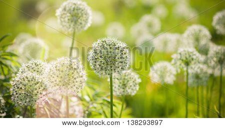 Beautiful White Allium circular globe shaped flowers blow in the wind. UHD