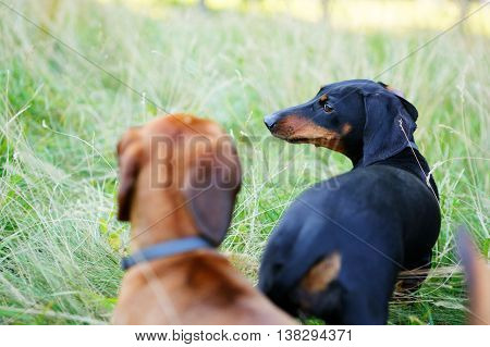 Black And Red Dachshunds Playing Among The Green Grass
