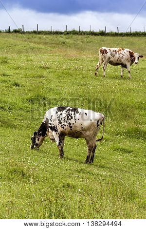 Holstein cows in the pasture landscape cloudy day Quebec Canada