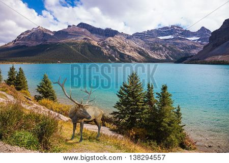 Rocky Mountains of Canada. Red deer on the bank of azure lake