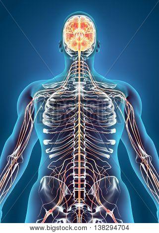 3D Illustration Of Human Internal System - Nervous System.