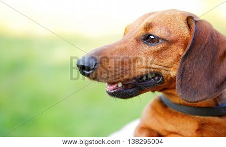 Red Smooth-haired Dachshund Portrait In Profile