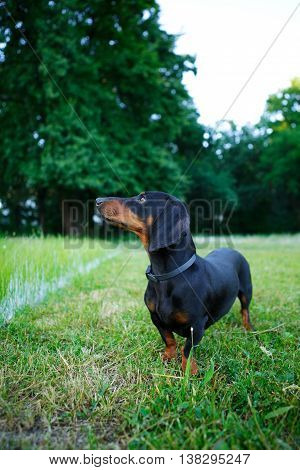 Black Smooth-haired Dachshund Among The Green Nature