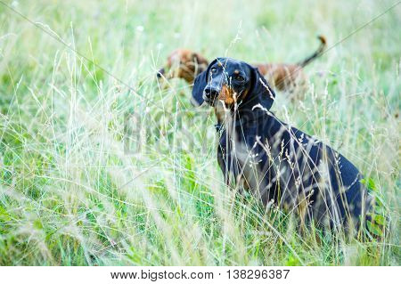 Black and red smooth-haired dachshunds hunting among the grass. Outdoors