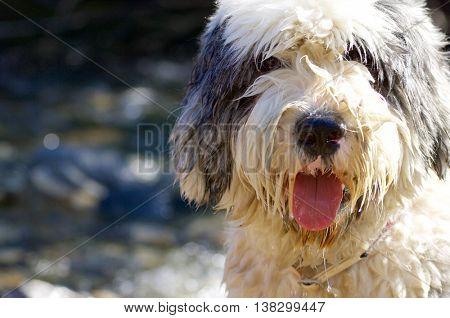 Closeup of a bobtail breed dog, Huesca, Aragon, Pyrenees.