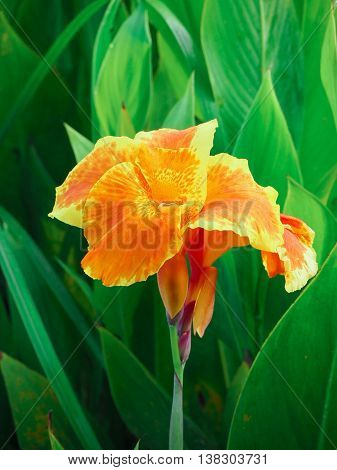 The Orange and Yellow Canna Lily Flower is bloom in the garden.