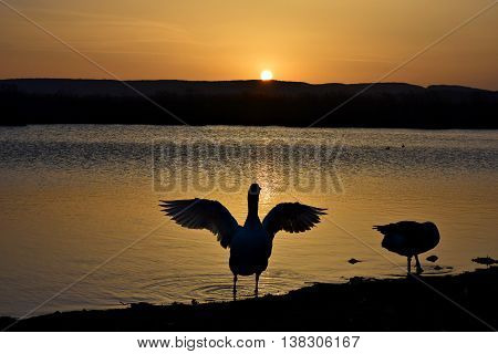 A beautiful duck at sunset spreading its big wings by the lake in Ioannina.