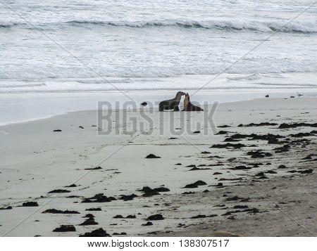 Two Australian sea lions meeting on the beach