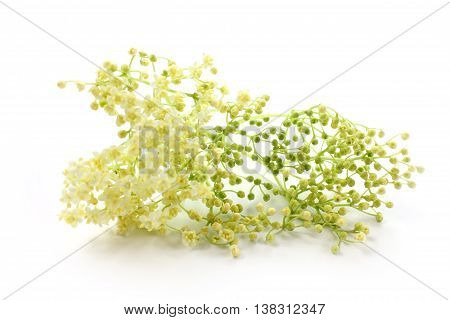 Sambucus nigra elderberry herb with flowers and buds on white background. Sequence of maturation.
