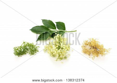 Sambucus nigra elderberry herb with flowers and buds and dried flowers with green leaves on white background.