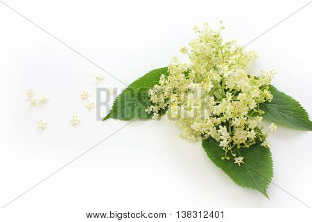 Sambucus nigra elderberry herb with flowers and leaves on white background.