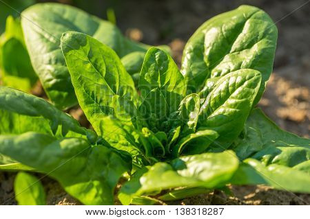 Spinach Growing In Garden.