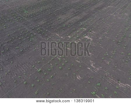 Top View Of A Field Of Sunflower Seedlings