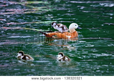 Ogar or red duck with ducklings swimming in pond