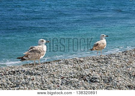 Sea gulls on the shore of Black Sea in sunny day