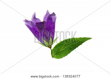Pressed and dried flower campanula. Isolated on white background. For use in scrapbooking floristry (oshibana) or herbarium.