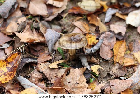 forest background with fallen autumn leaves and hide fungus