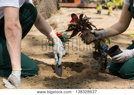 Gardeners Planting Flowers That Have Just Been Taken From The Pot