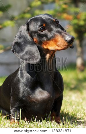 Dog German haired Dachshund in the summer outdoors closeup portrait