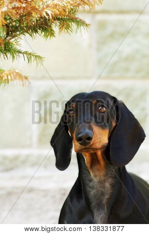 Purebred dog breed the German shorthaired Dachshund in front of a white stone wall closeup portrait