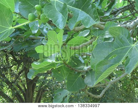 Afternoon of summer. Fig tree, illuminated by the penetrating  sunmeans amang this  beautiful and large leaves. Fruit tree cultivated   nince  hunders of years and wuit swwt and  healthy fruits.