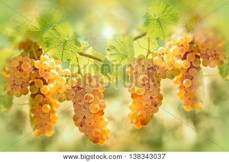 Grape riesling in vineyard - taste (flavor) and color of grape like honey