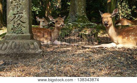 Group of deer at Todaiji Temple in Nara, Japan