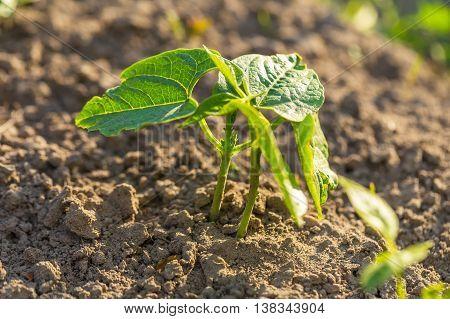 Young Bean Growing In Garden