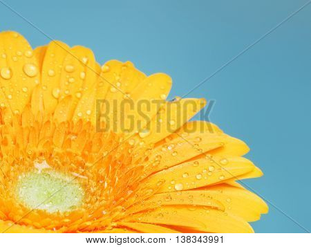 beautiful yellow gerbera flower on blue background