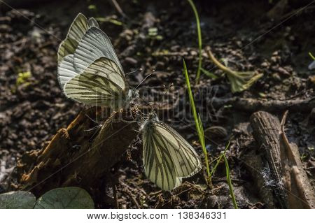 Three Green-veined white butterflies against the light