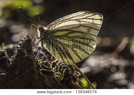 A green-veined white butterfly against the light