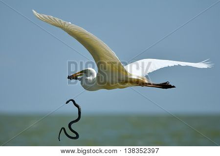 big white egret stealing fish from snake's mouth (ardea alba)