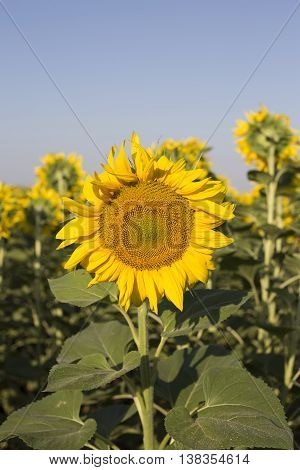 Sunflower Grows On The Field.