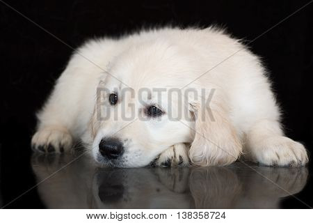 golden retriever puppy lying down on black