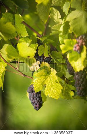 Large bunches of red wine grapes hang from an old vine in warm a