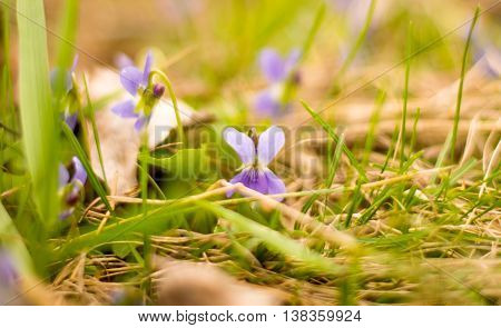 violets flowers blooming in spring meadow natural