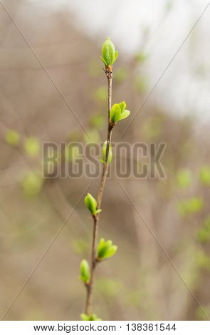 tree branch with blossoming buds in spring