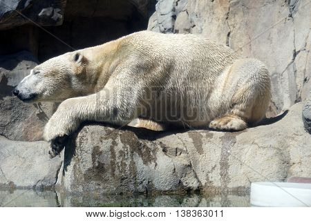 A white polar bear (Ursus maritimus) relaxes on a ledge.