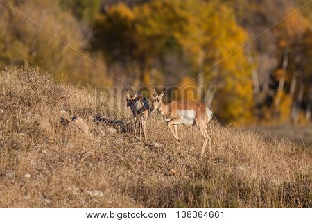 a pronghorn antelope doe and fawn in fall
