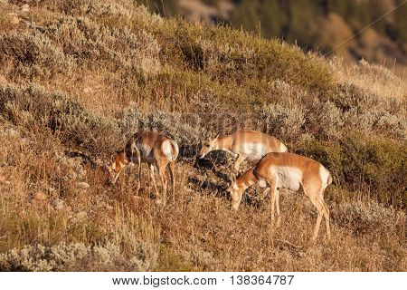 a pronghorn antelope doe grazing with her two fawns
