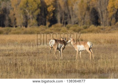 a young pronghorn antelope buck with doe in the rut