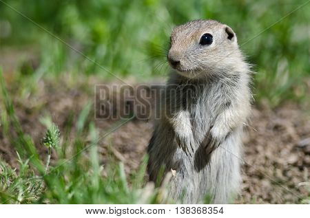 Alert Little Ground Squirrel Standing Guard Over Its Home