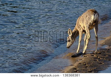 Deer Taking a Drink at the Water's Edge