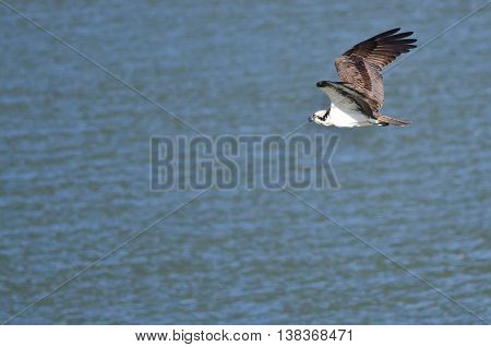 Osprey Hunting as It Flies Low Over the Water