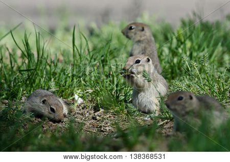 Cute Little Ground Squirrel Enjoying a Snack