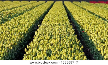 Rows Of Yellow Tulips In Dutch Countryside. Beautiful outdoor scenery in Netherlands.