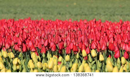 Tulip Fields in Holland. Red and Yellow tulip field.