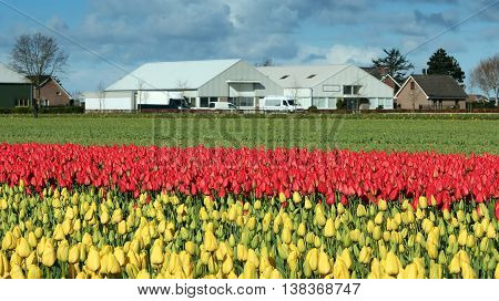 Farmhouse In A Sea Of Colorful Tulips. Beautiful outdoor scenery in Netherlands.